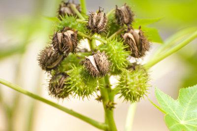A mamona é um exemplo de planta invasora encontrada no Brasil