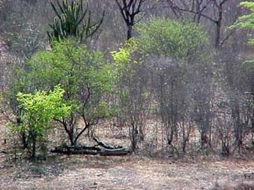 Caatinga: vegetação típica do Nordeste do Brasil