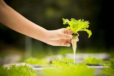 Com a técnica da hidroponia, a planta não é cultivada no solo