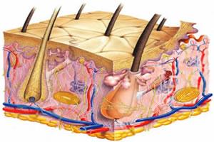 O sistema tegumentar: epiderme, derme e hipoderme.