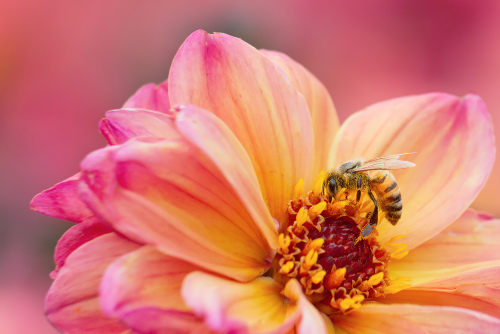 A abelha destaca-se entre os animais como a principal polinizadora