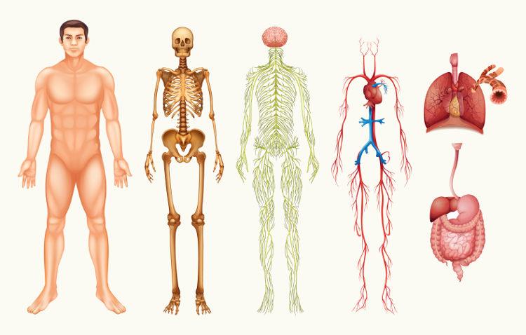O corpo humano é formado por uma série de importantes sistemas e é, por isso, bastante complexo.